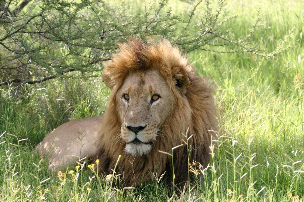 Lion1_MoremiGameReserve_MomboCamp_Delta.jpg