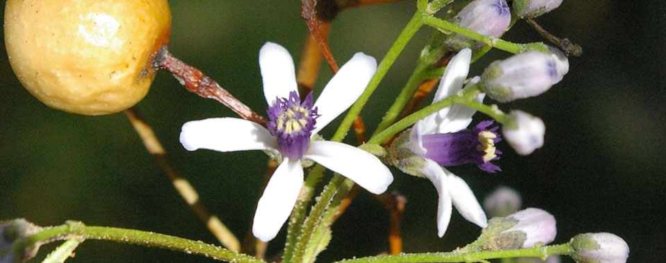 Syringa Flower