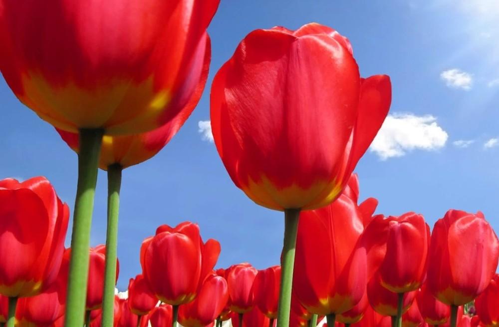 tulip (2)