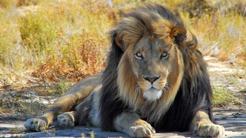 001_lion-709407c11a