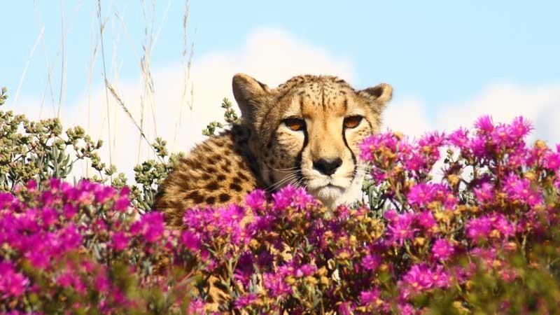 008_cheetah-305e583739