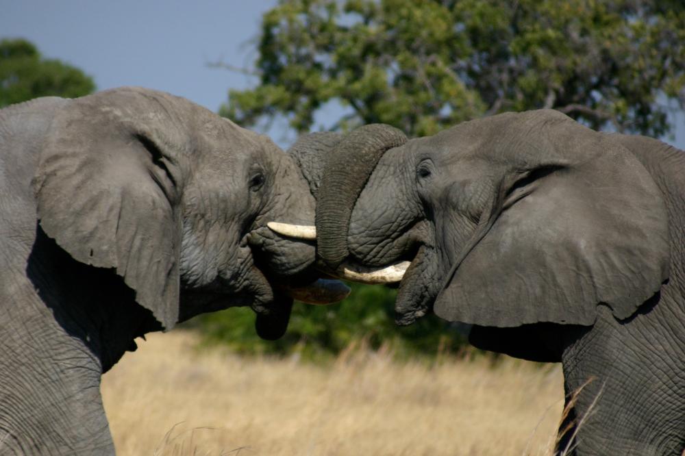 ElephantsFighting_Mombo_Camp_Detla_MoremiGameReserve.jpg