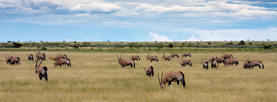 Gemsbok Herd.jpg