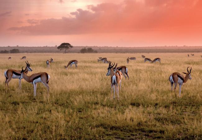 Impala Herd