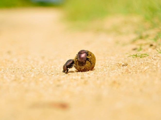 INY-Dung-beetle