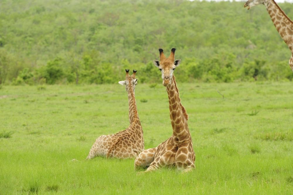 INY-Giraffes.jpg