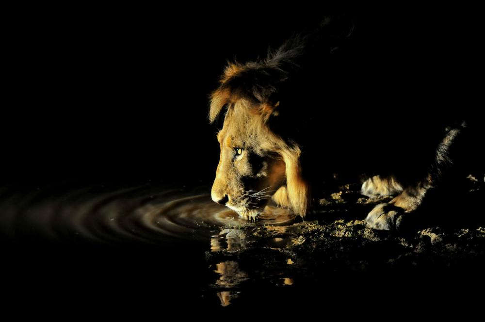 INY Lion HR.jpg