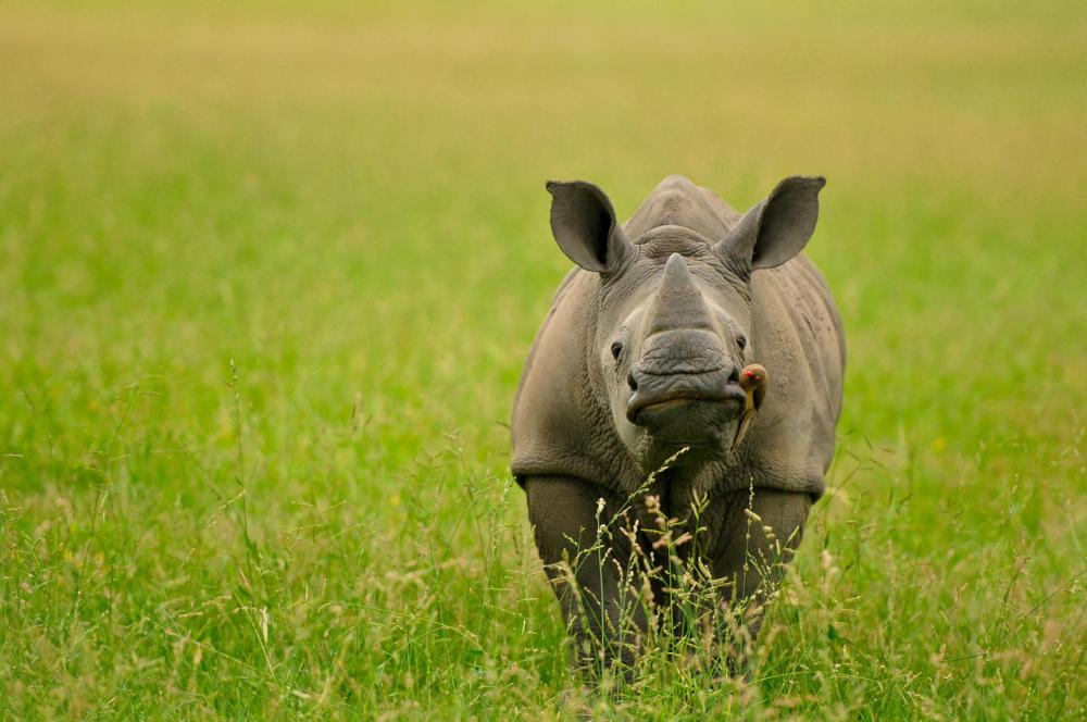 INY Save the Rhino1.jpg