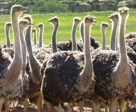 thabile-460x460_0001_Ostriches