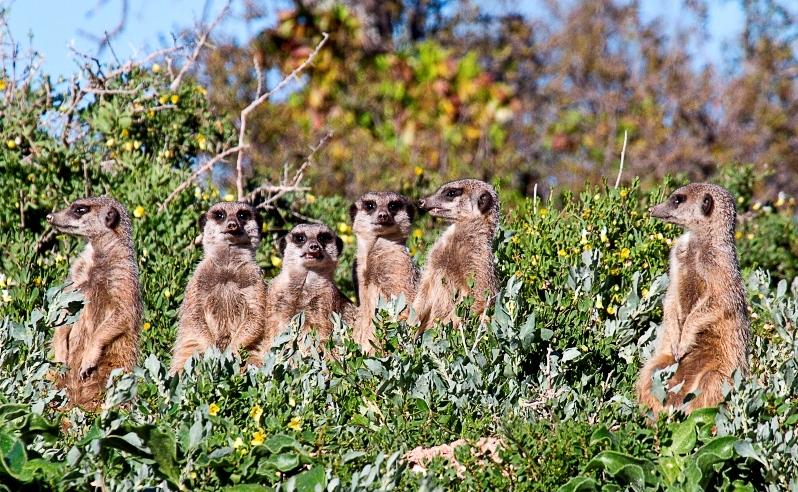 meerkats_in_the_klein_karoo