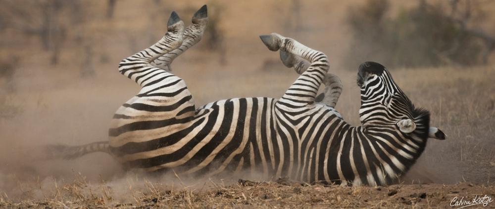 03-zebra-dust-bath.jpg