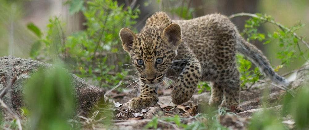 leopard-cub.jpg