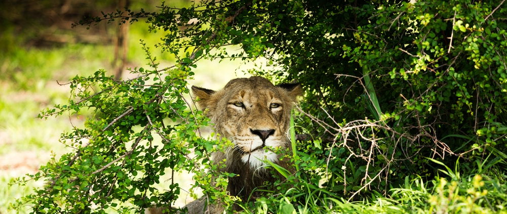 lion-peering-through-bush.jpg