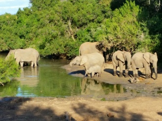 Amakhala_Game_Lodge_Leeuwenbosch_Country_House_Elephants_bathing_Regular