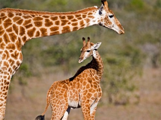 Amakhala_Game_Lodge_Leeuwenbosch_Country_House_Giraffes_Regular