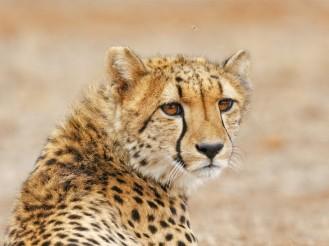 Amakhala_game_reserve_Hlosi_game_lodge_Cheetah3_Regular