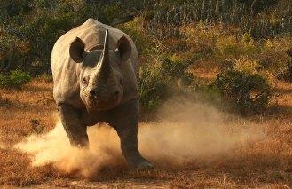 Kwandwe-black-rhino-charge