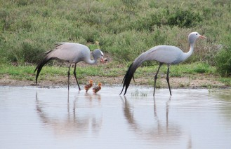 Kwandwe-Blue-Crane-Family