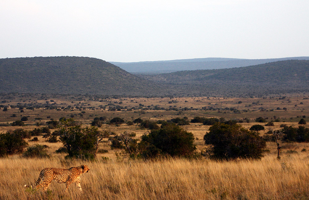Kwandwe-Cheetah-and-Landscape
