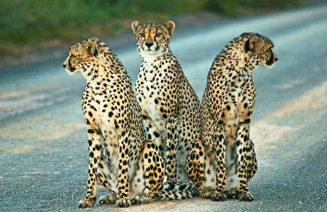 Kwandwe-cheetah-trio