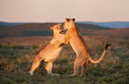 Kwandwe-dancing-lioness