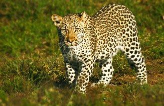 Kwandwe-leopard-2