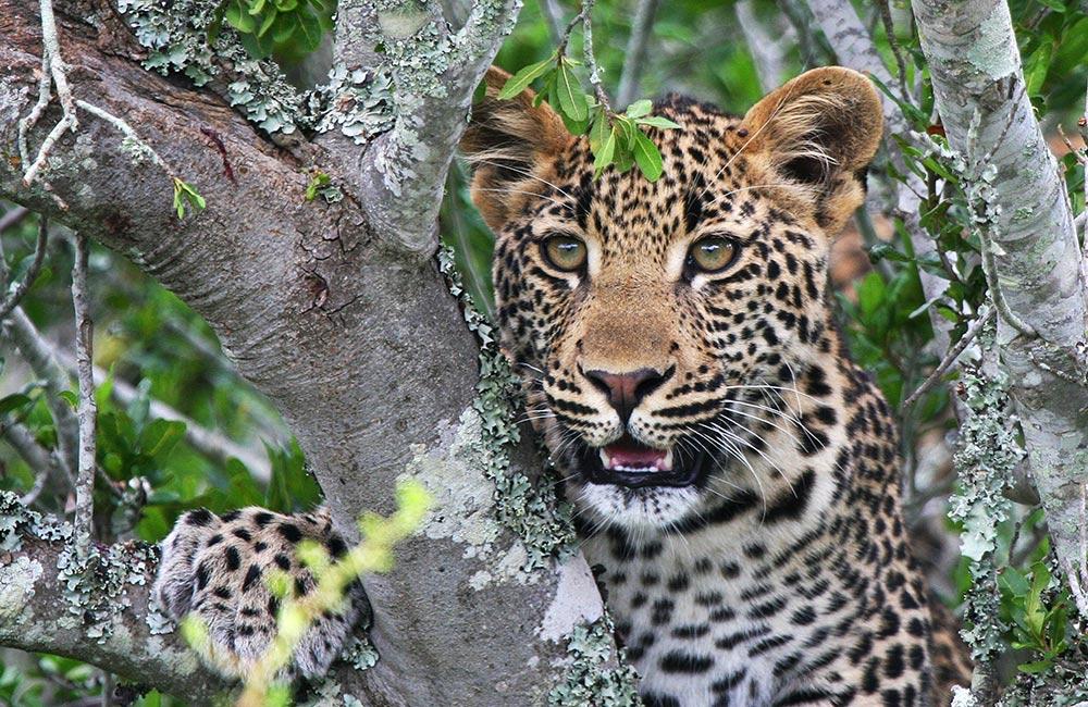 Kwandwe-leopard.jpg