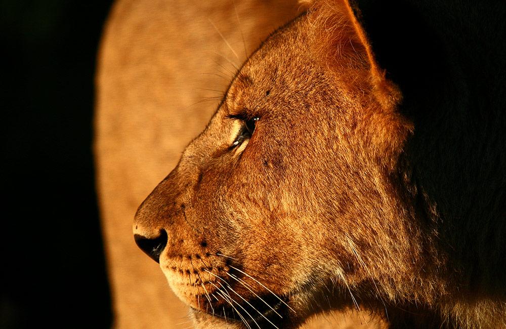 Kwandwe-lioness-profile.jpg