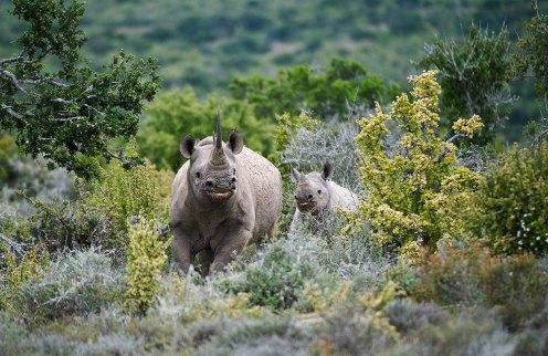 Kwandwe-Rhino
