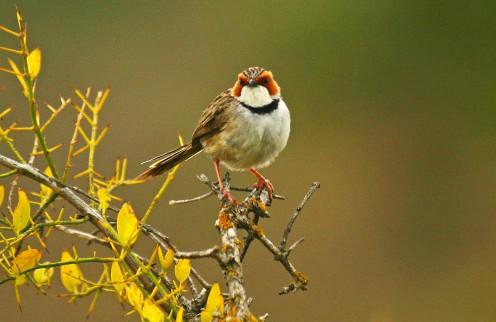 Kwandwe-rufous-eared-warbler