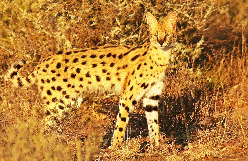 Kwandwe-serval