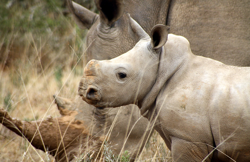 Kwandwe-white-rhino-mother-calf