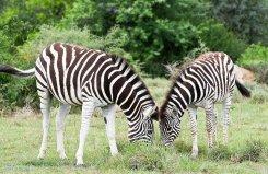 Kwandwe-Zebra
