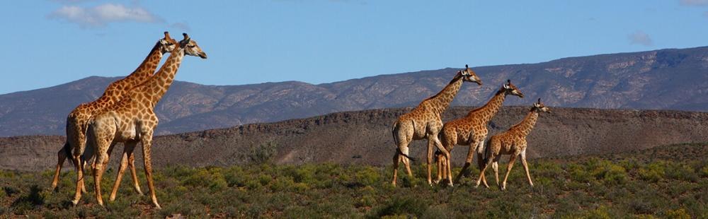 Sabona-Wildlife Giraffe.jpg