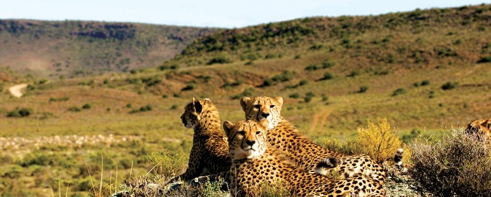 Sanbona Wildlife Reserve Cheetahs.jpg